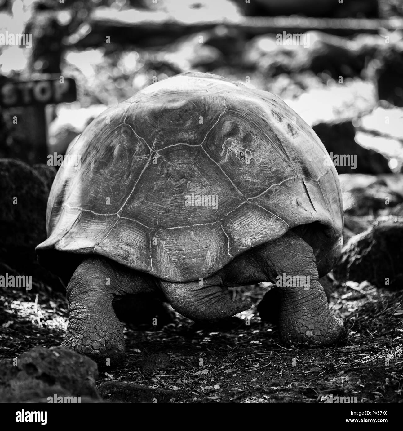 Hybrid turtle walking away in the highlands of Floreana. The sturdy back legs and tail denote a male of some stature. - Stock Image