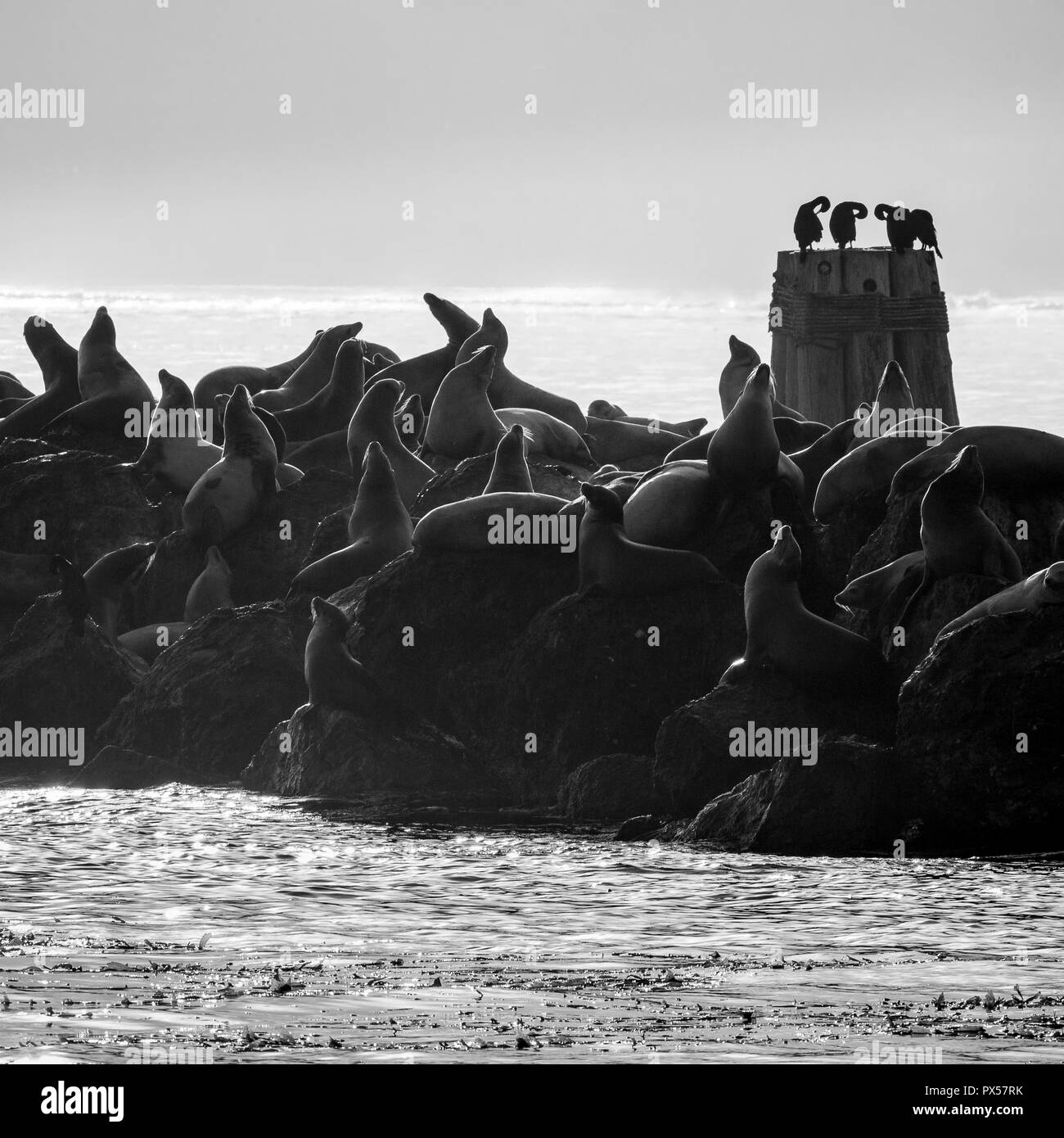 Sea lions  and Brandt's cormorants  (Phalacrocorax penicillatus) on the harbour wall as the sun comes up, Monterey, California. - Stock Image