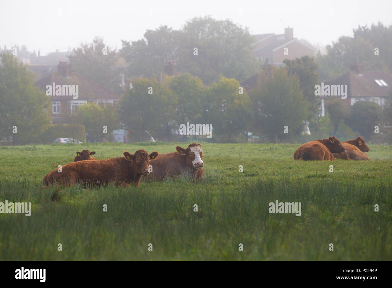 Cows lying down in field on common land amongst suburban housing in Hitchin, Herts, England, UK on misty morning in Autumn Stock Photo