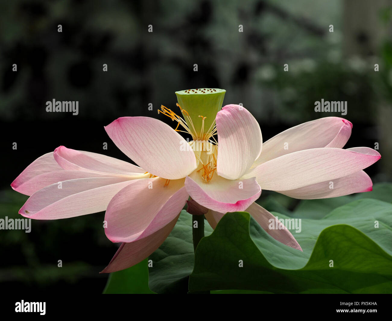 Delicate Pink Petals Yellow Stamens Of Lotus Flower Or Sacred