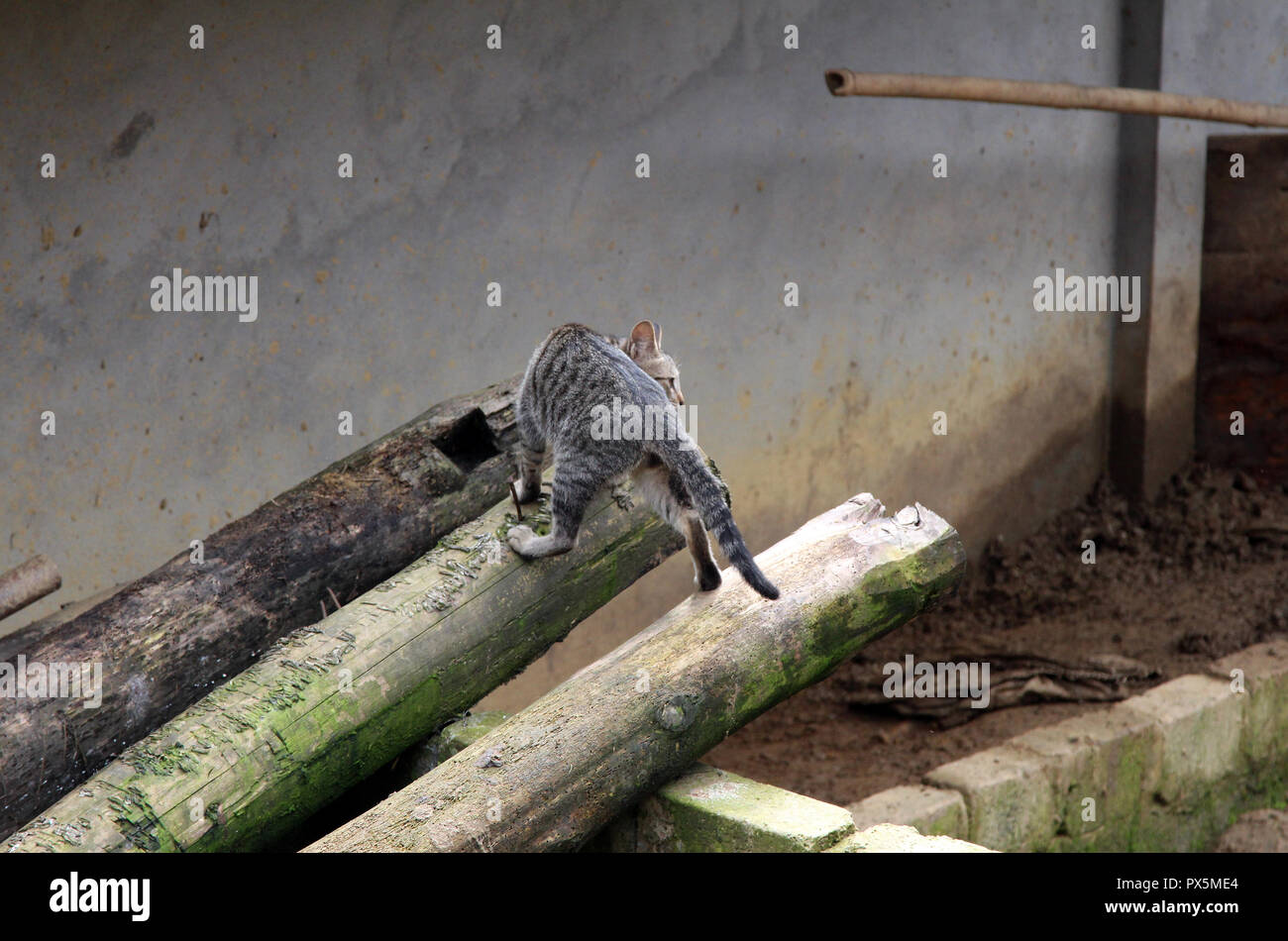 Intrepid cat scales shed roof in a village in Vietnam - Stock Image