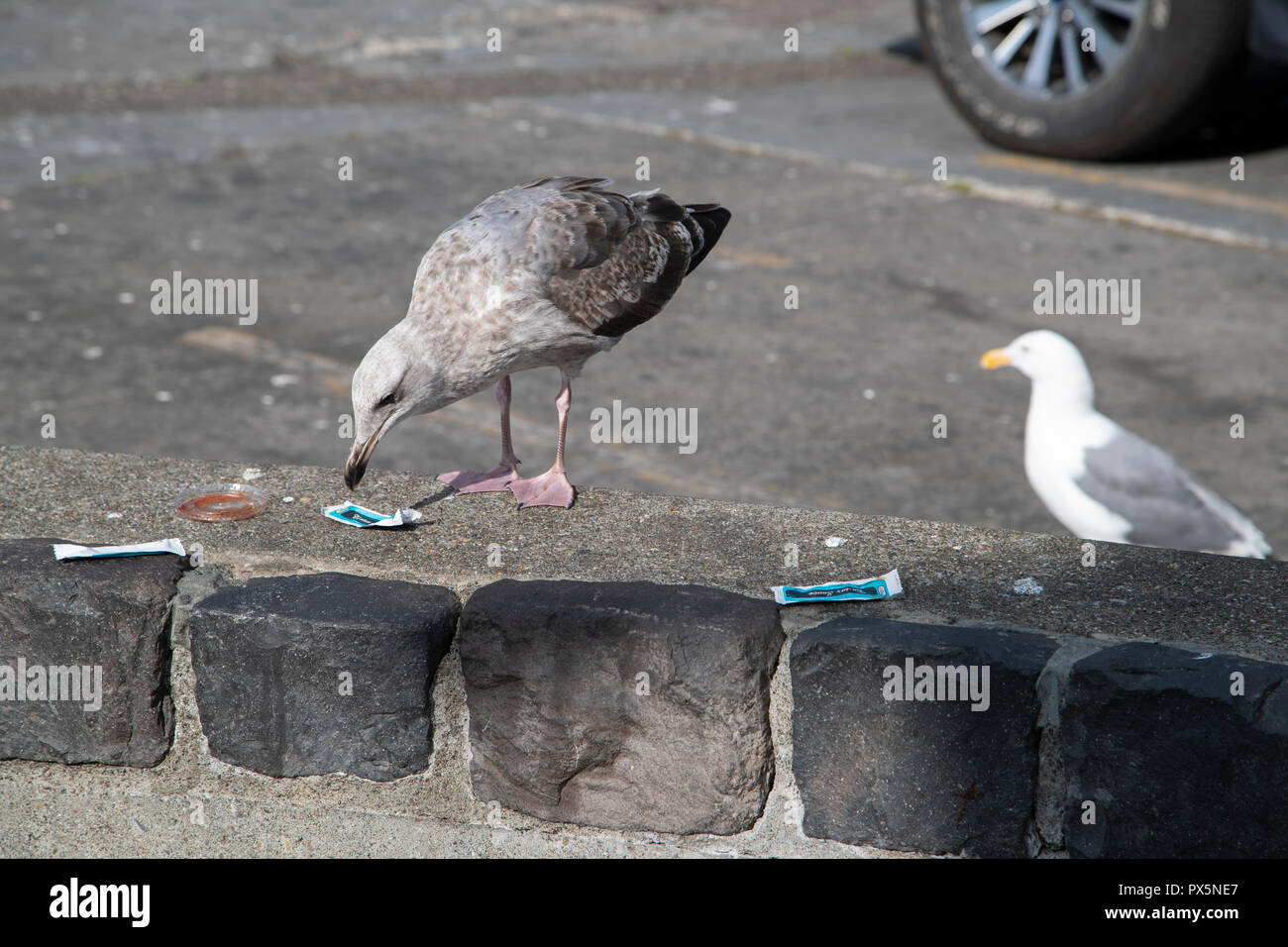 One young and one mature seagull (Glaucous-winged gulls, Larus Glaucescens) inspecting leftover wrappings and trash in a parking lot in Vancouver, BC. - Stock Image