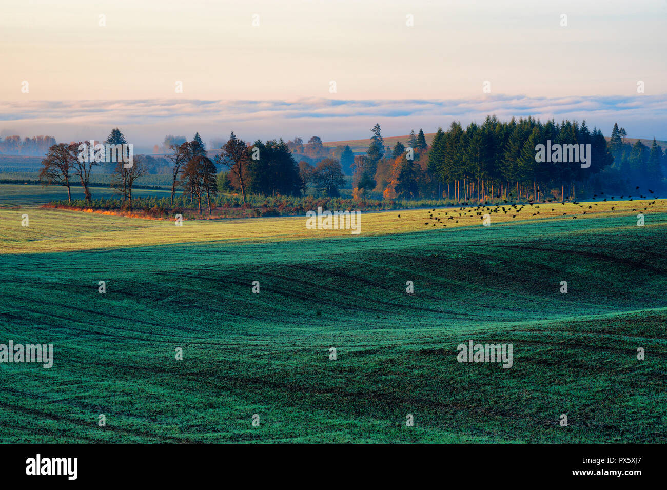 Early morning sunrise lightens the farm ground burning off ground fog, that still lingers amongst trees, while black birds take flight, near Aumsville - Stock Image