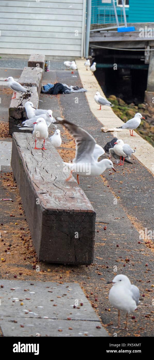 Seagulls on a block of wood in Sydney Cove Sydney Harbour Sydney NSW Australia. - Stock Image