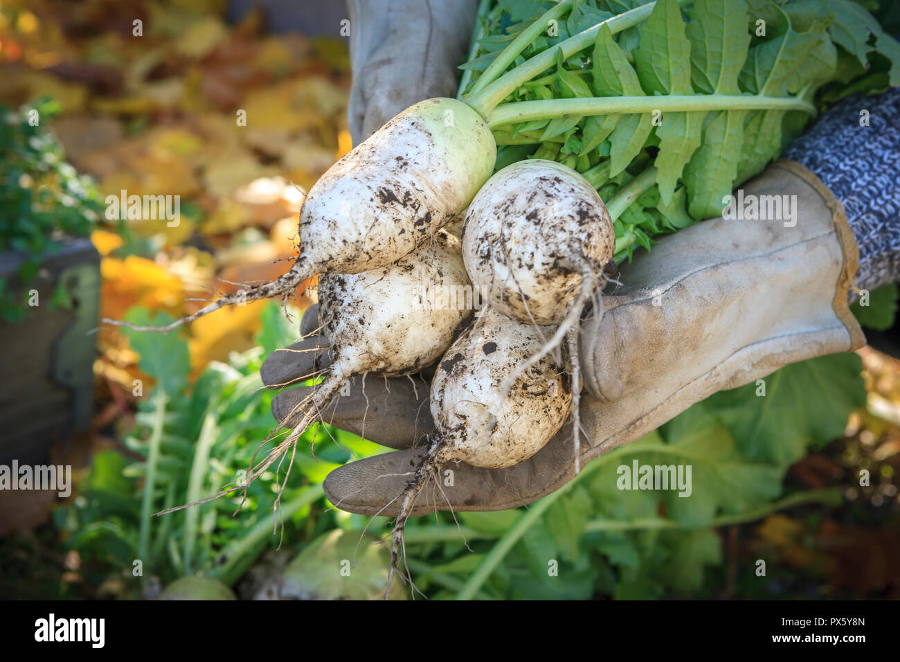 Gloved hands are holding chinese radishes that were just harvested. - Stock Image