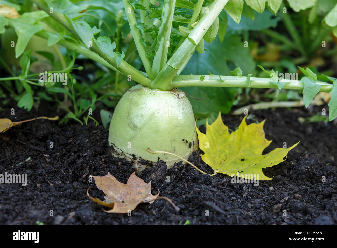 A large chinese radish is partly out of the soil in a garden. - Stock Image