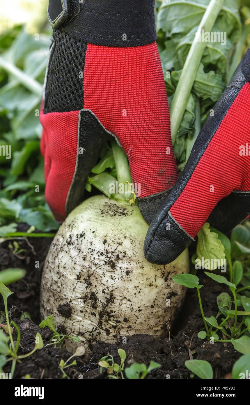 Pulling the chinese radish out of the soil during late harvest. - Stock Image