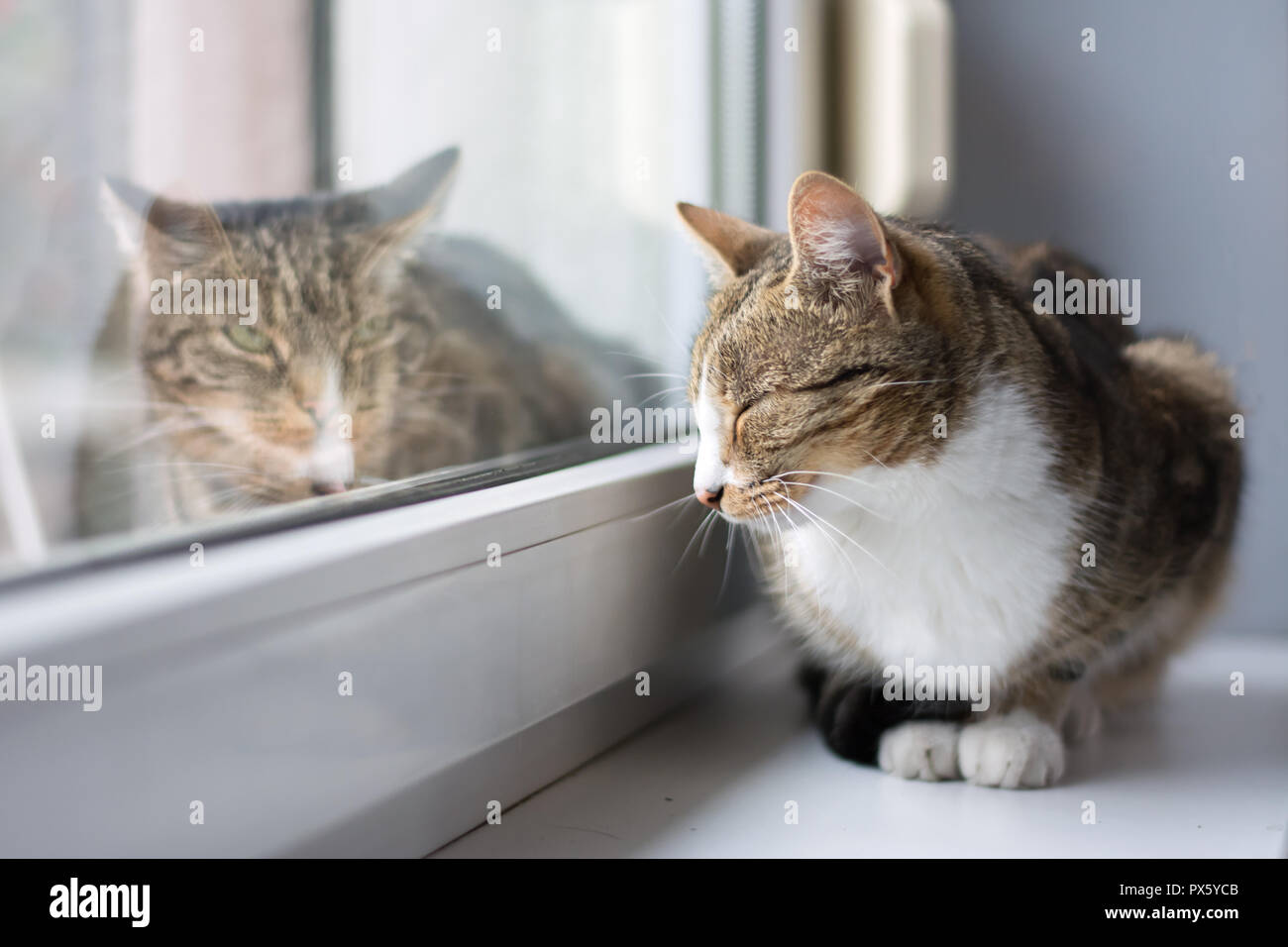 Black, beige and white cat lying on a windowsill with closed eyes, grey cat lying outside Stock Photo