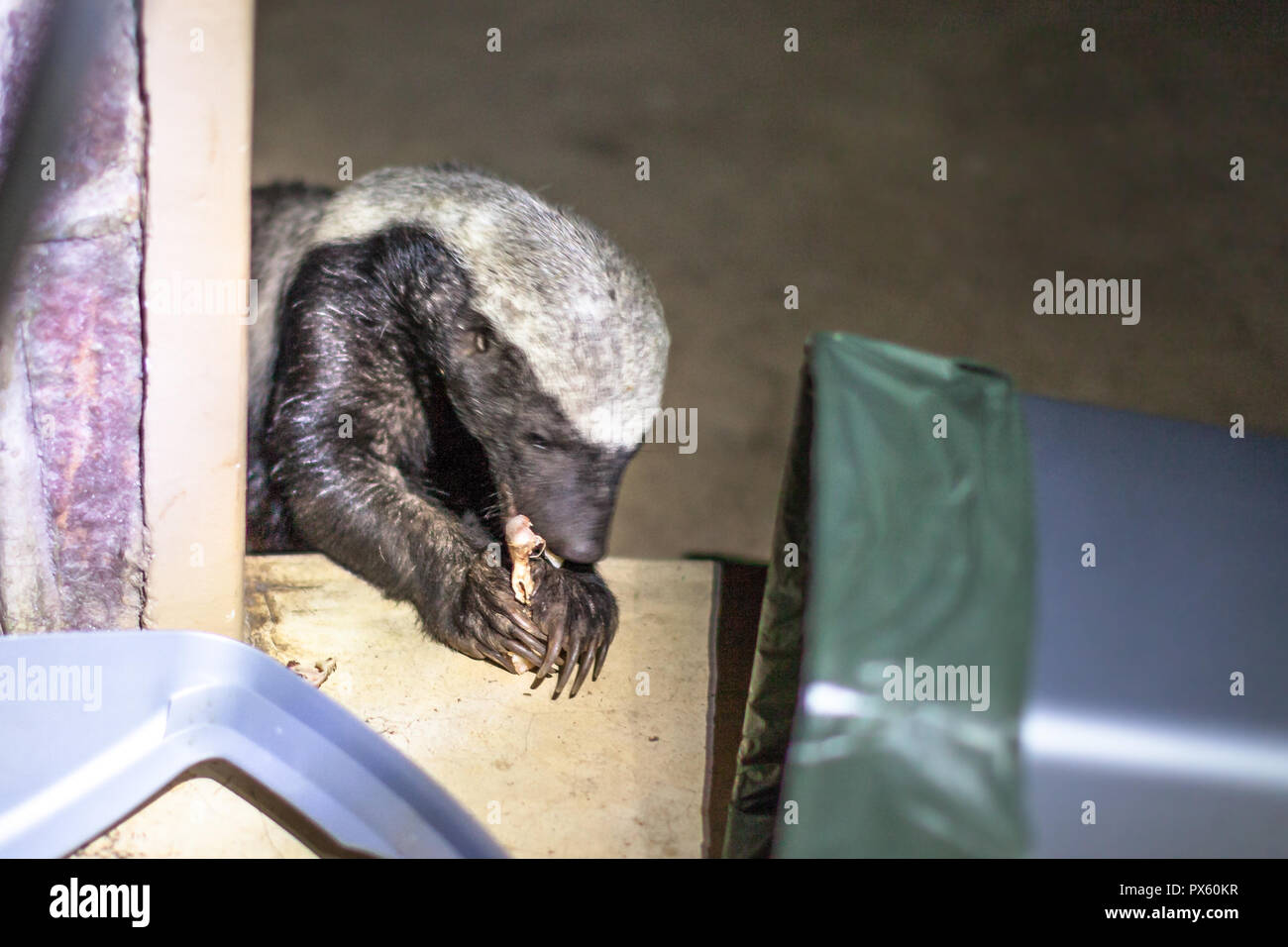 Honey badger or Mellivora capensis looking for food in the national park in South Africa. It is an omnivorous predator, rare to see in nature. It is fearless and therefore aggressive and dangerous. - Stock Image