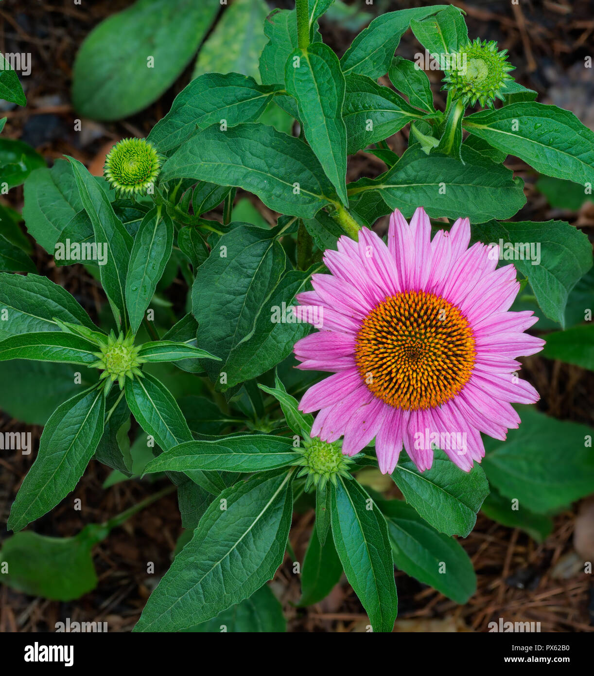 Purple coneflower (Echinacea purpurea) and several buds in garden in central Virginia in early summer. - Stock Image