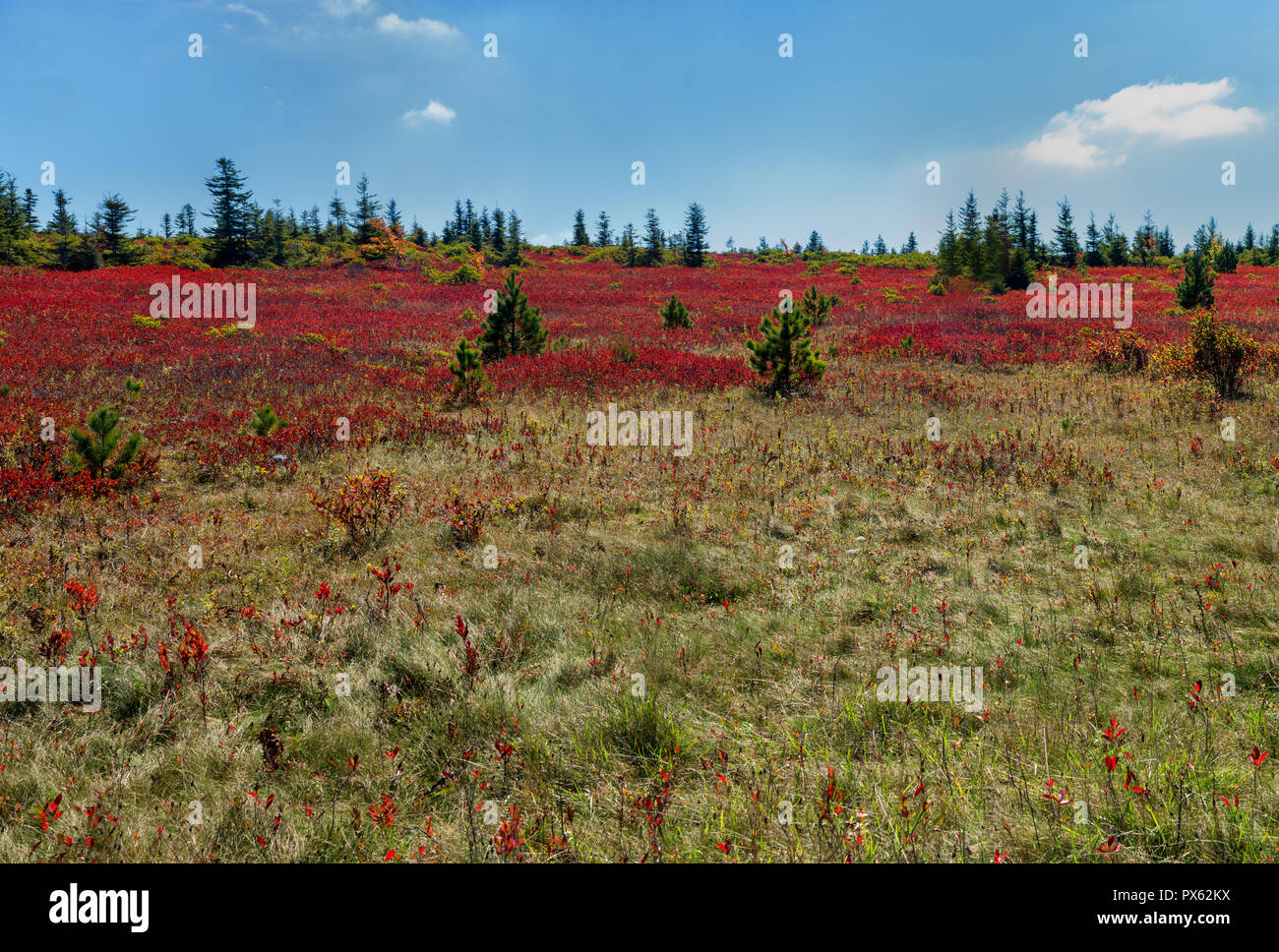 Heath barren at Dolly Sods Wilderness Area in West Virginia in autumn. Flagged red spruce and white pine emerge from the red foliage of blueberry bush - Stock Image