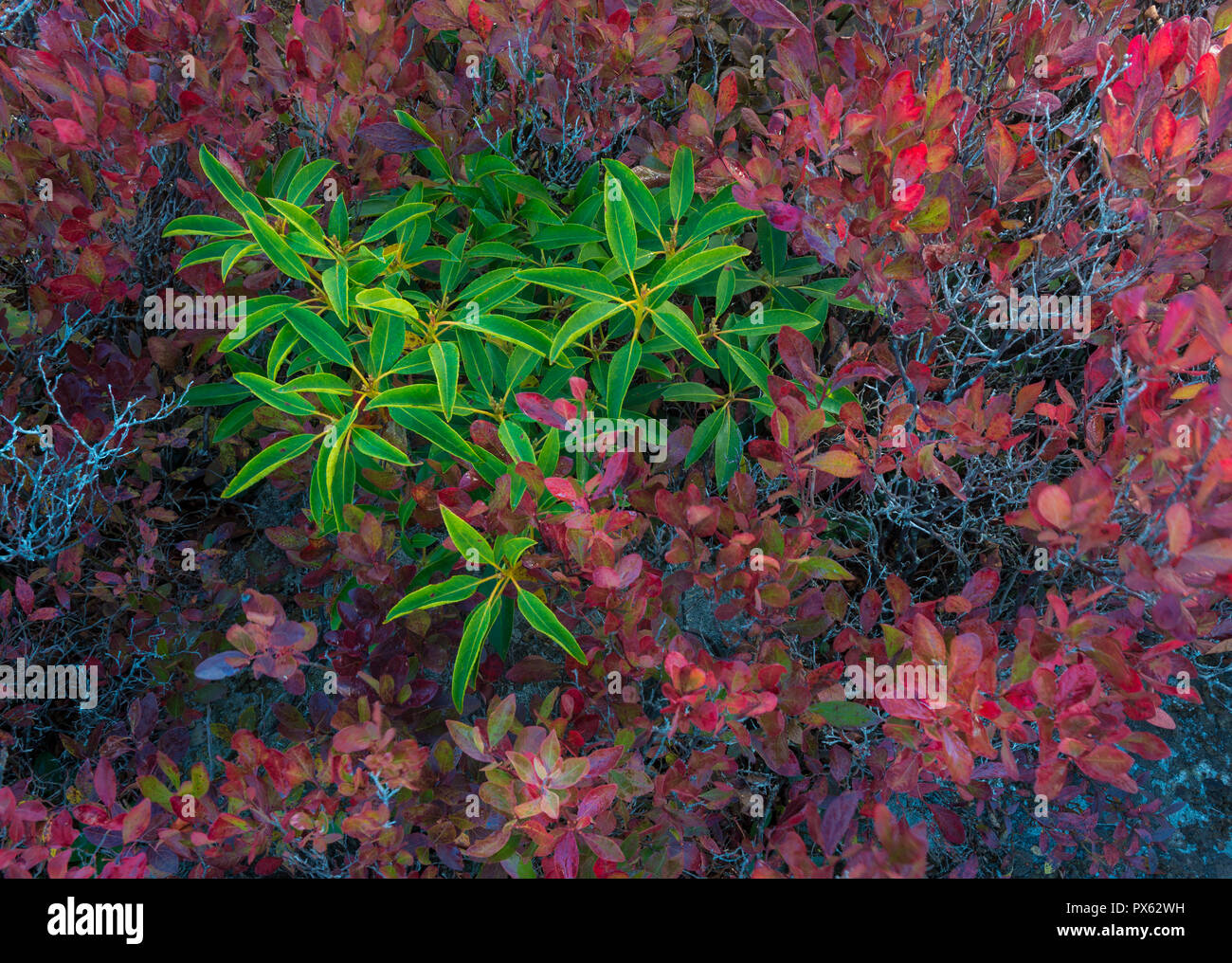 Mountain laurel surrounded by blueberry bushes in autumn on the heath barrens of Dolly Sods Wilderness in West Virginia - Stock Image