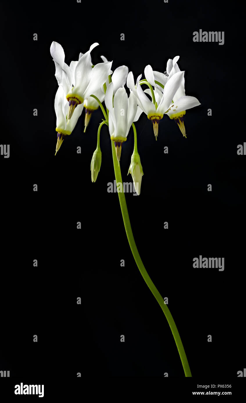 Shooting star (Dodecatheon meadia) flowers. Close inspection reveals several aphids hiding under flower petal at right. - Stock Image