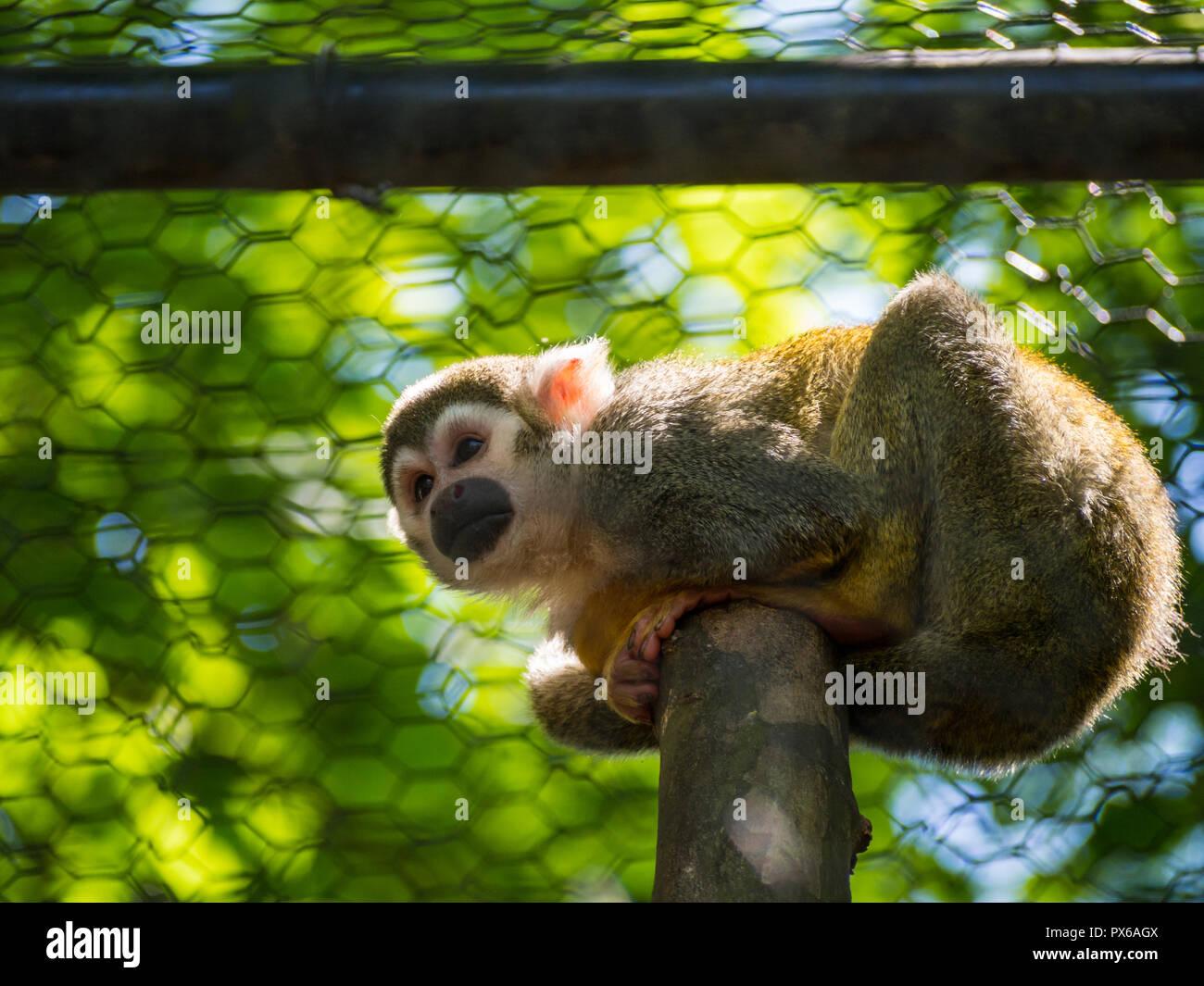 Squirrel monkeys in trees - photo#39