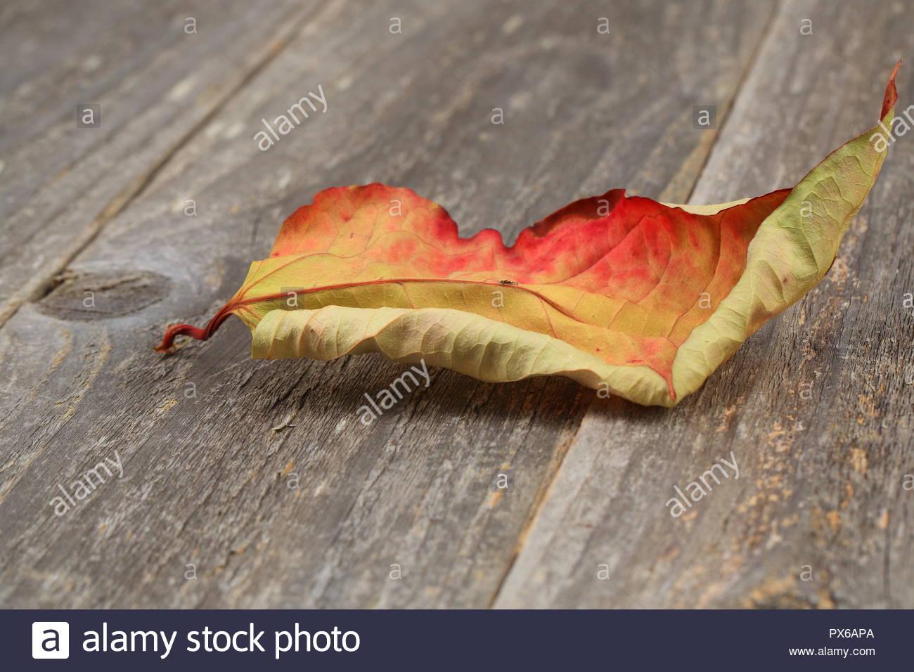 Autumn leaf transition - Stock Image