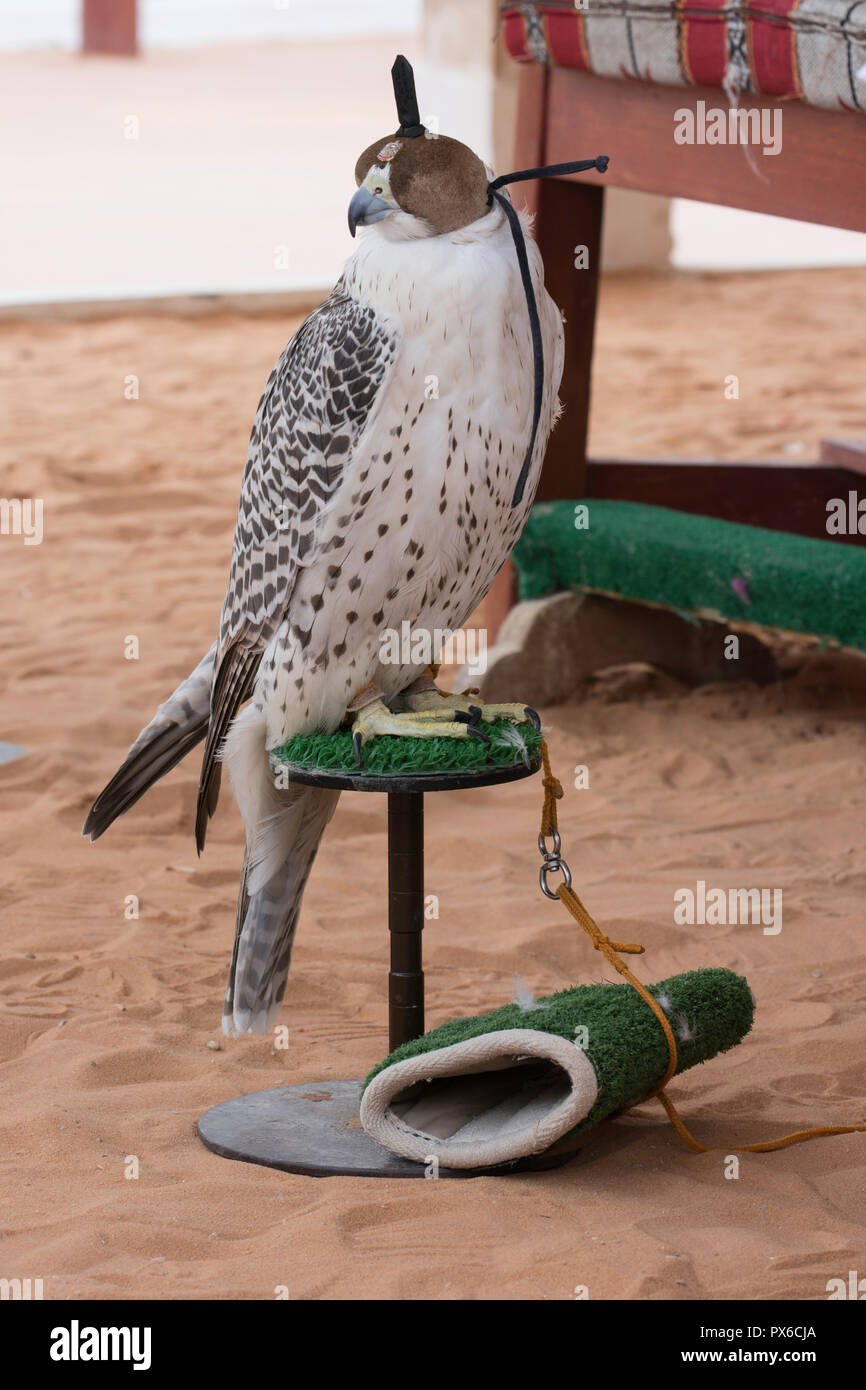 Arabian falcon with head cover Stock Photo