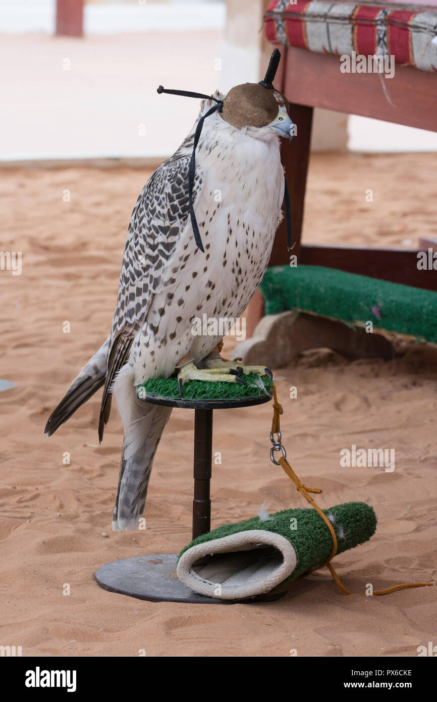 Arabian falcon with head cover Stock Photo