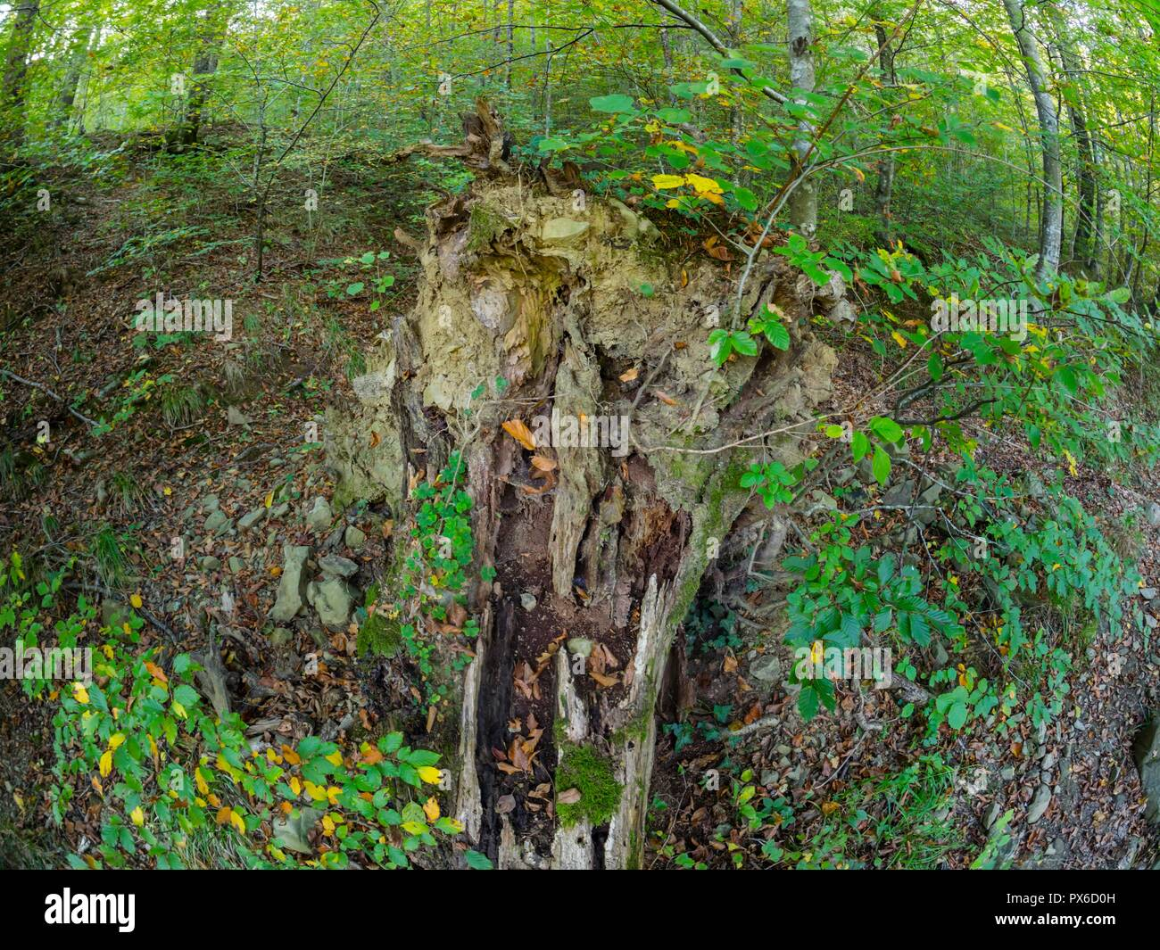 Derelict dried tree in forest - Stock Image