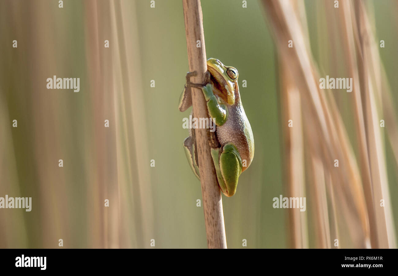 The European tree frog is a small tree frog found in Europe, Asia and part of Africa. Stock Photo