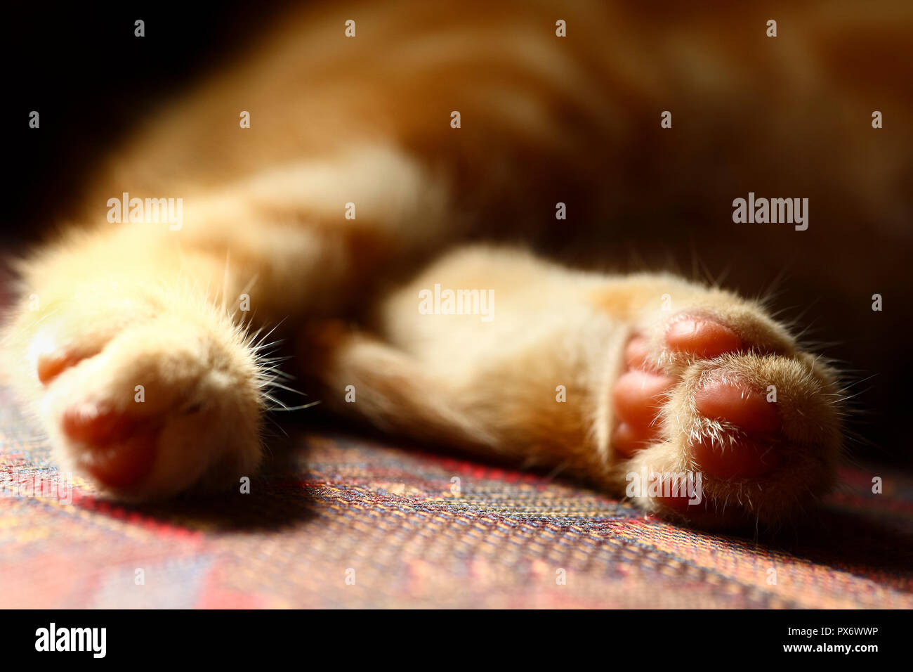 Close up of a mackeral tabby cats back feet in soft focus - Stock Image