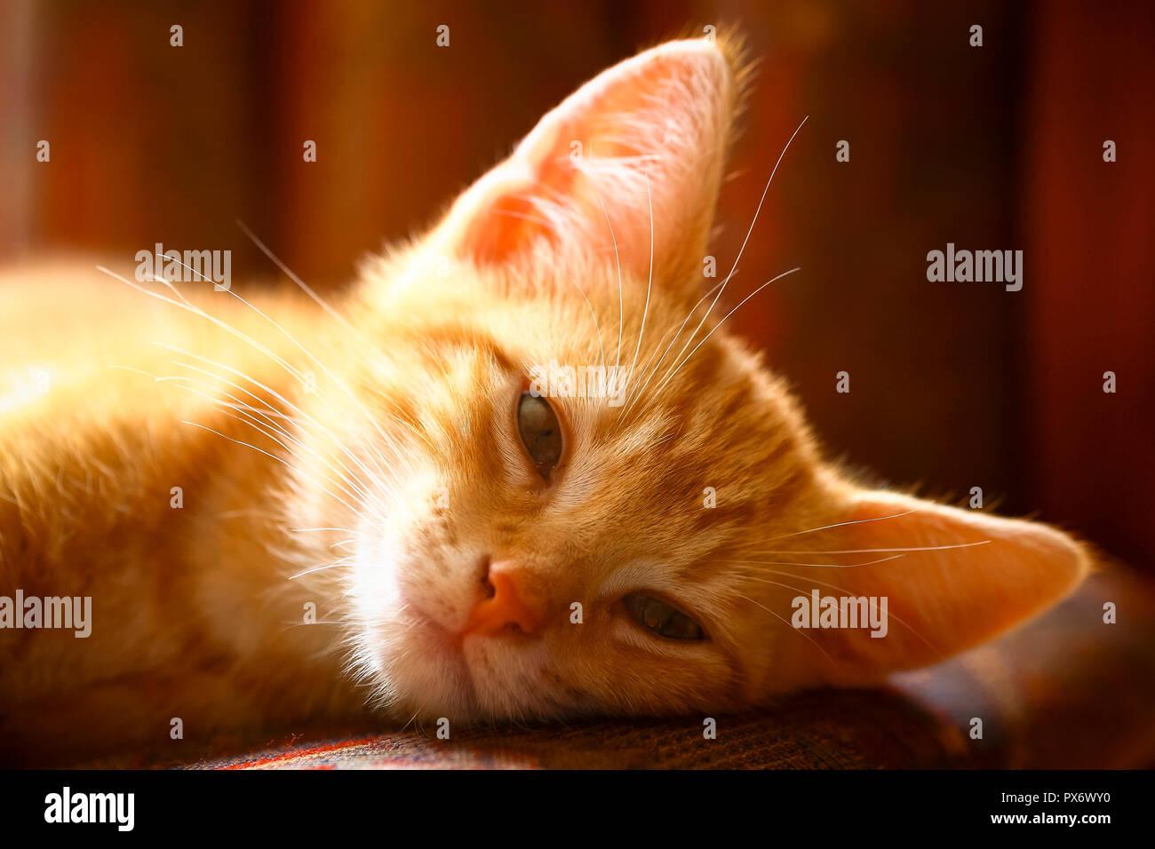 Ginger mackerel tabby kitten in soft focus - Stock Image