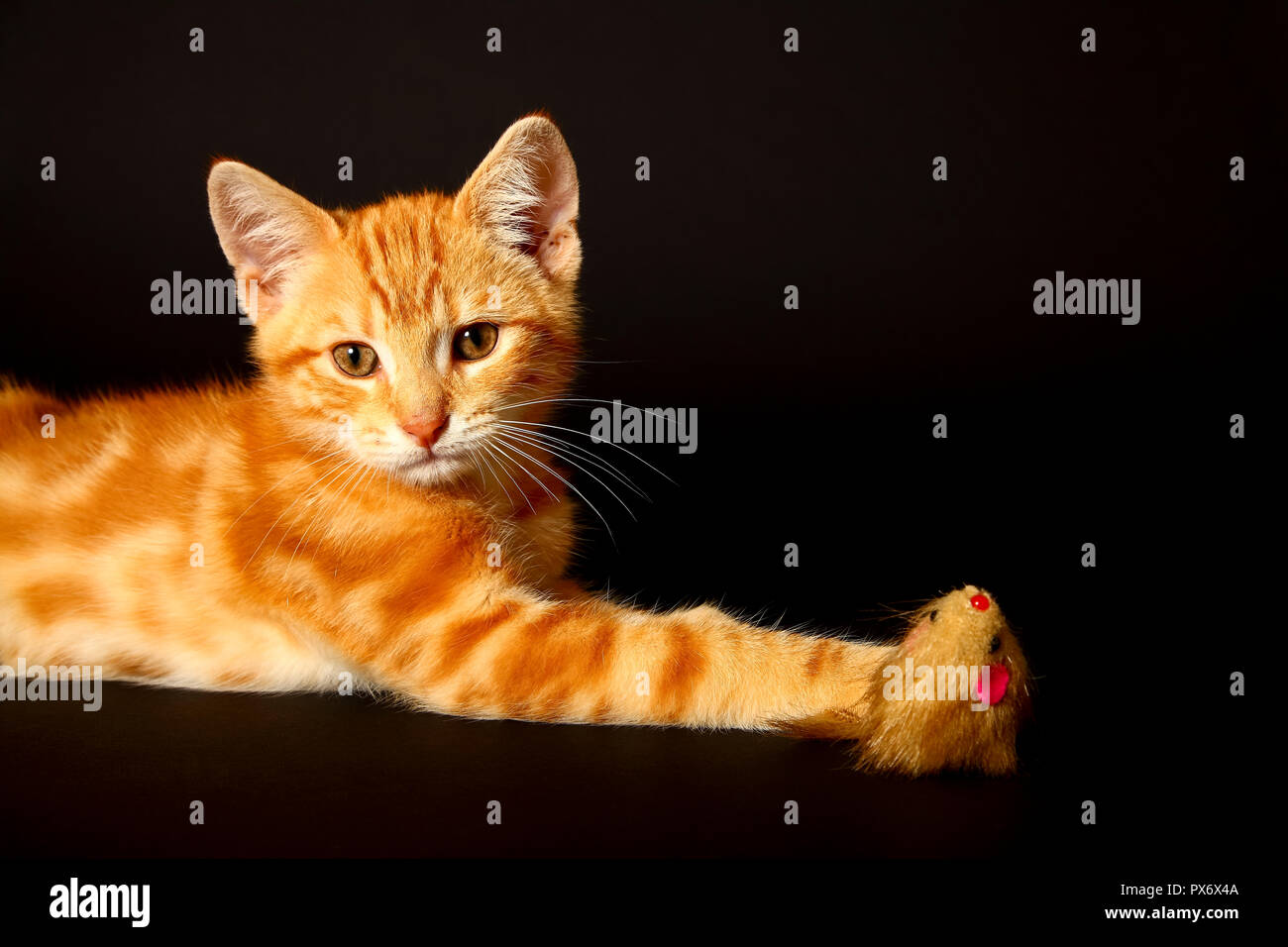 Ginger mackerel tabby12 week old kitten isolated on a black background playing with a toy mouse - Stock Image