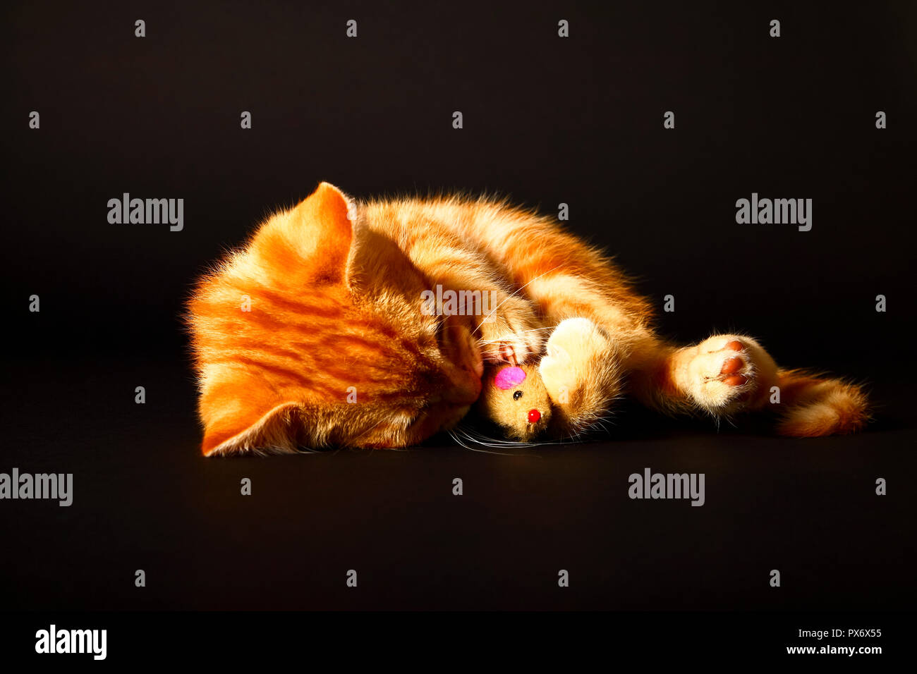 Ginger mackerel tabby12 week old kitten isolated on a black background playing with a toy mouse Stock Photo