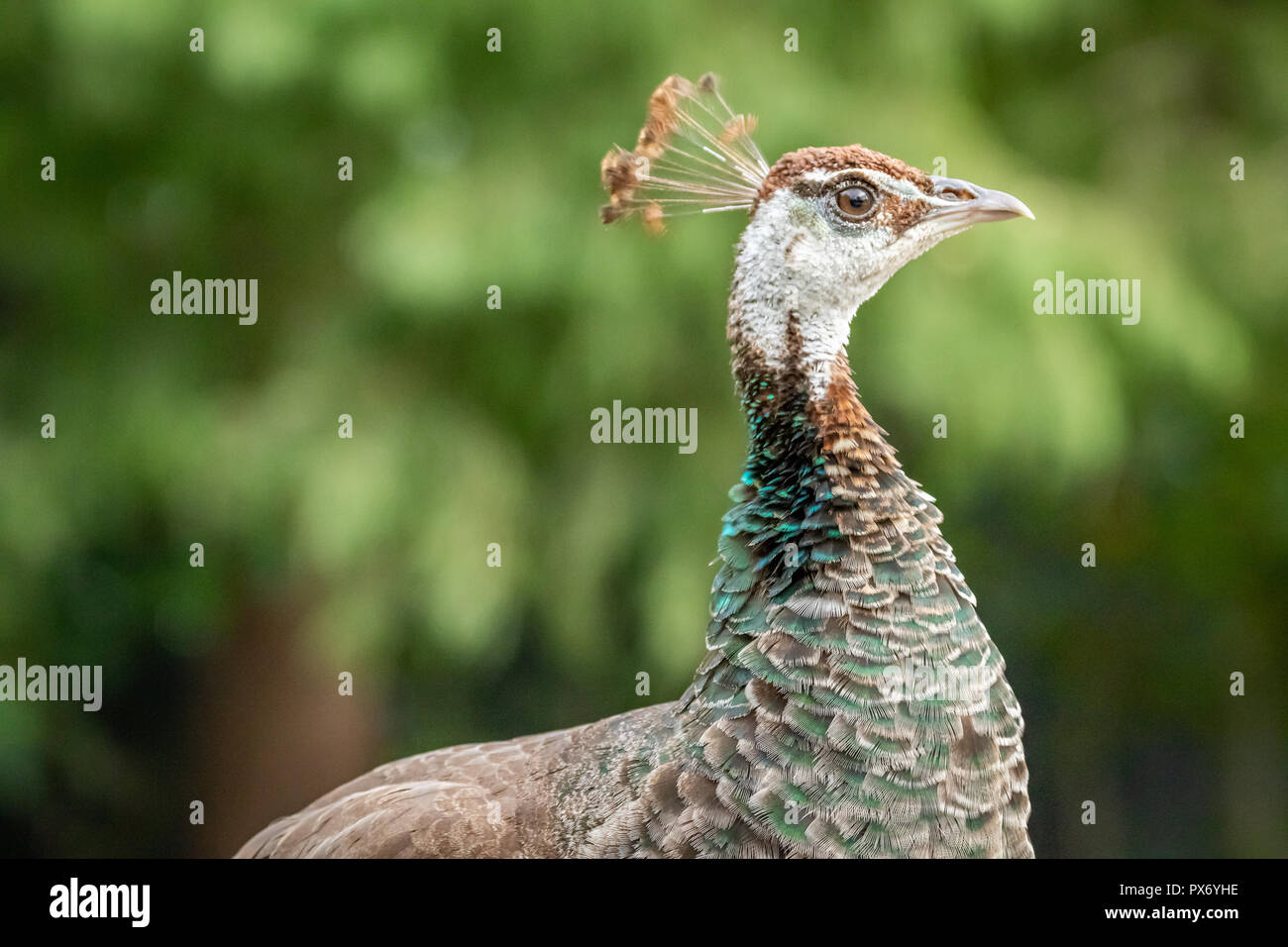 Peahen. GReen Peafowl female (Pavo muticus) in a zoo - Stock Image