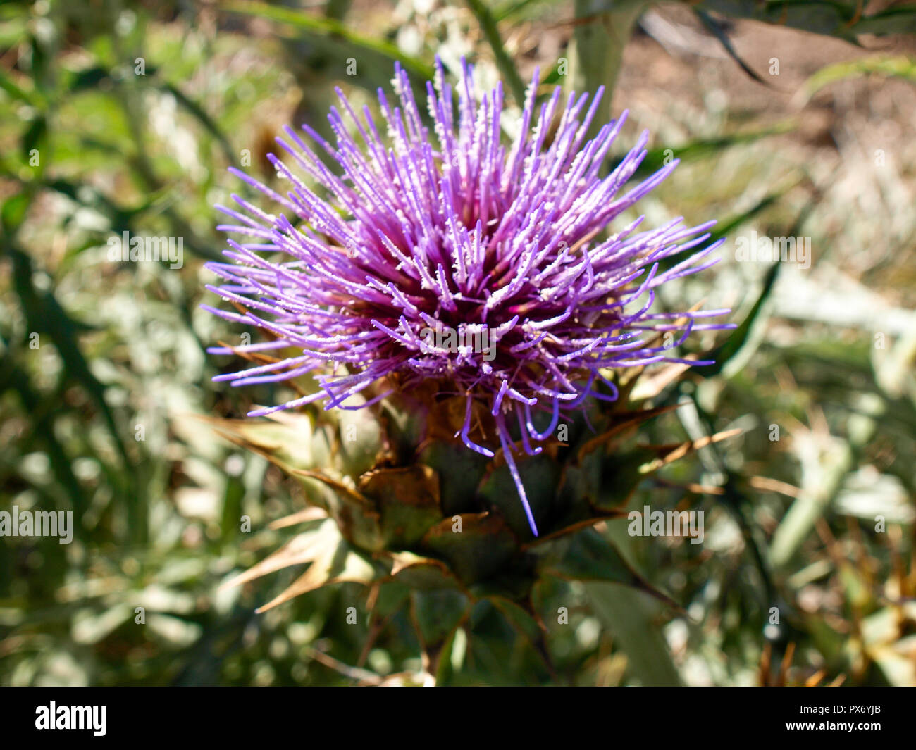 Lanzarote, Spain - June 4, 2017: Plant and wild flower - Stock Image