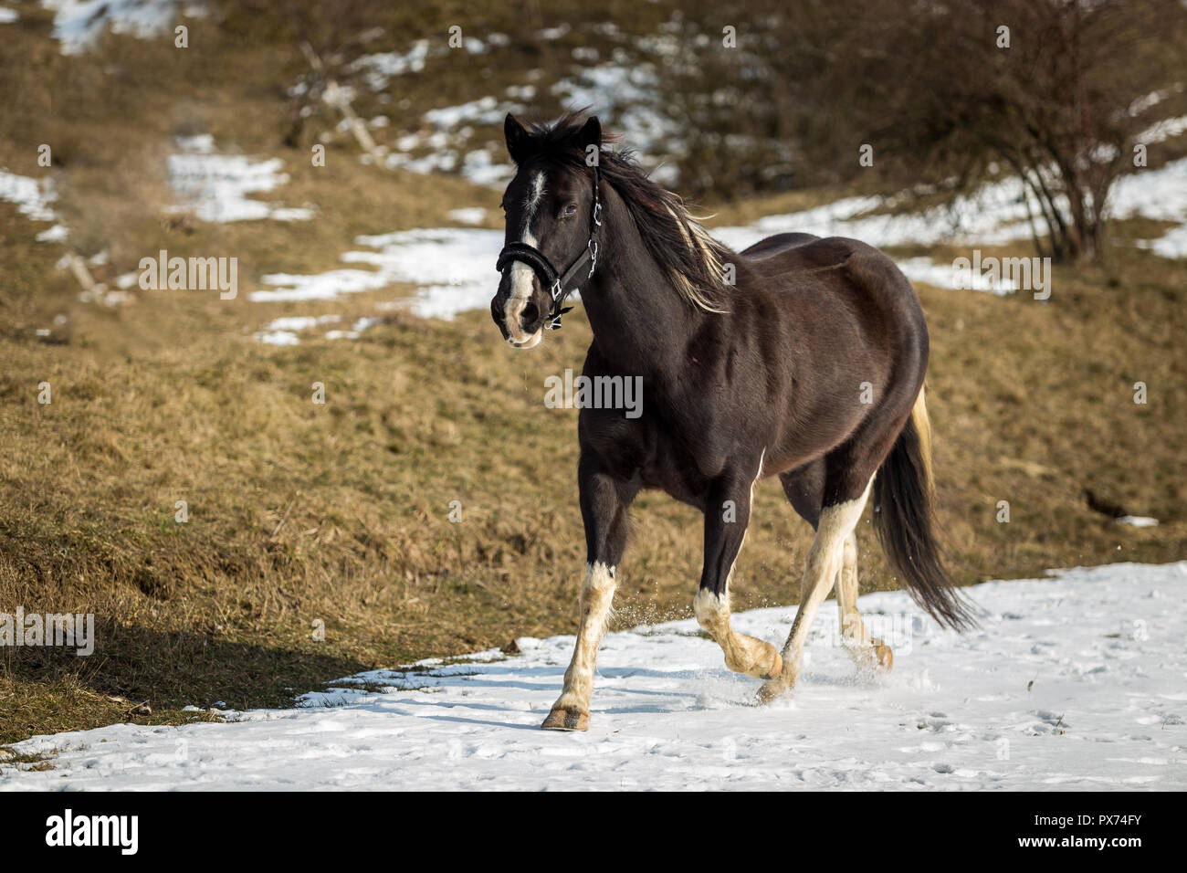 Black And White Horse Running In The Snow Stock Photo Alamy