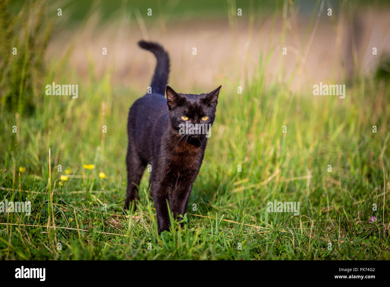Black devil. nice furry black cat walking and sneaking in the green garden - Stock Image