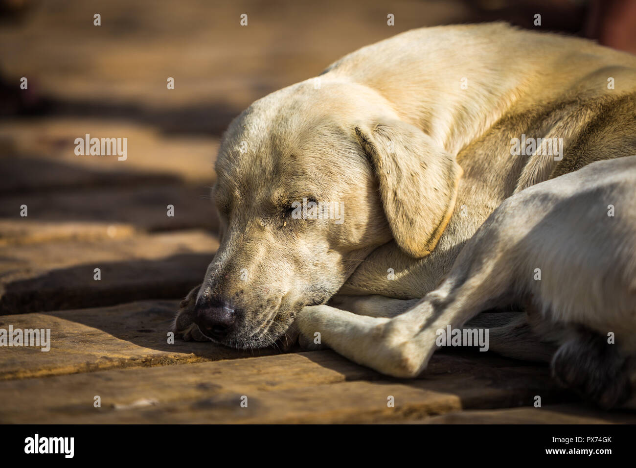 Sleeping dog on a wooden pier in Santa Maria, Sal, Cabo Verde - Stock Image