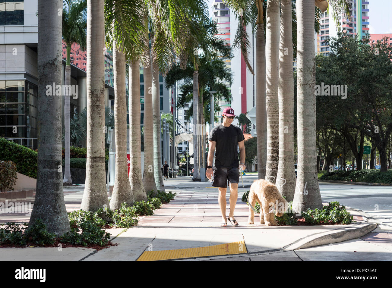 A Man Walking His Dog In Downtown Brickell Miami Florida Stock