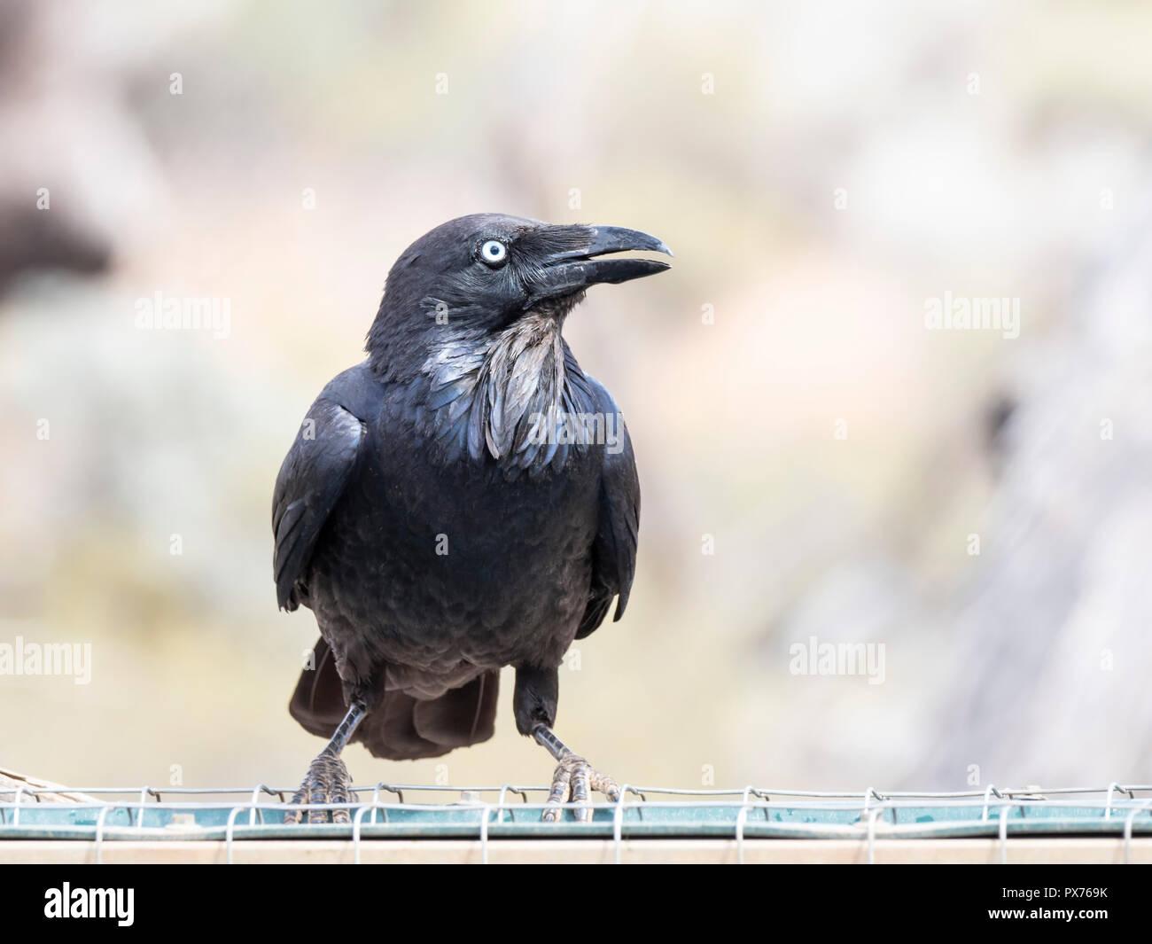 Australian Raven (Corvus coronoides) race 'coronoides' - Stock Image