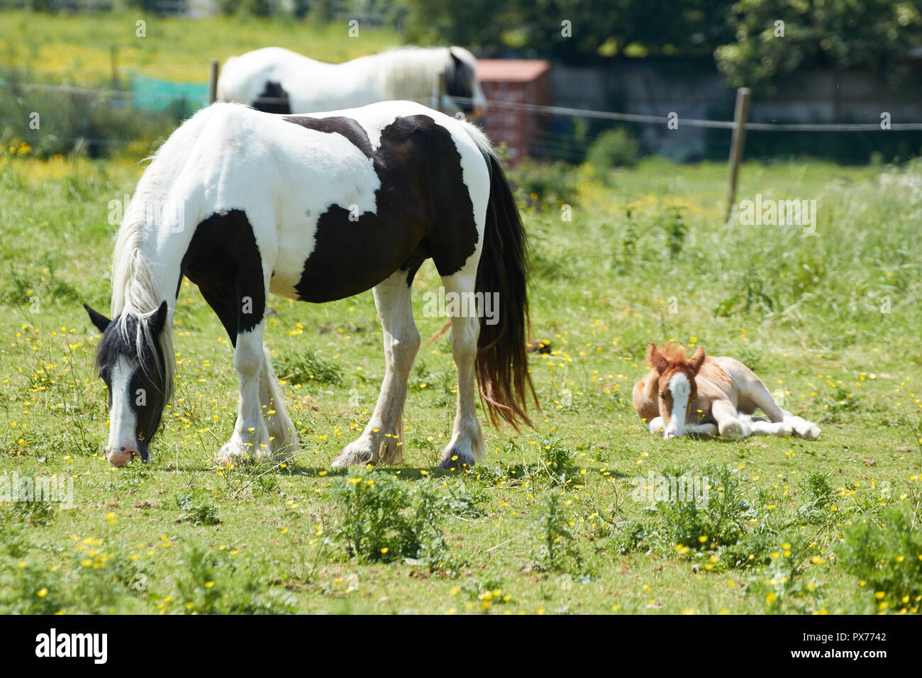 Mare and foal in paddock, Croydon, England, United Kingdom, - Stock Image