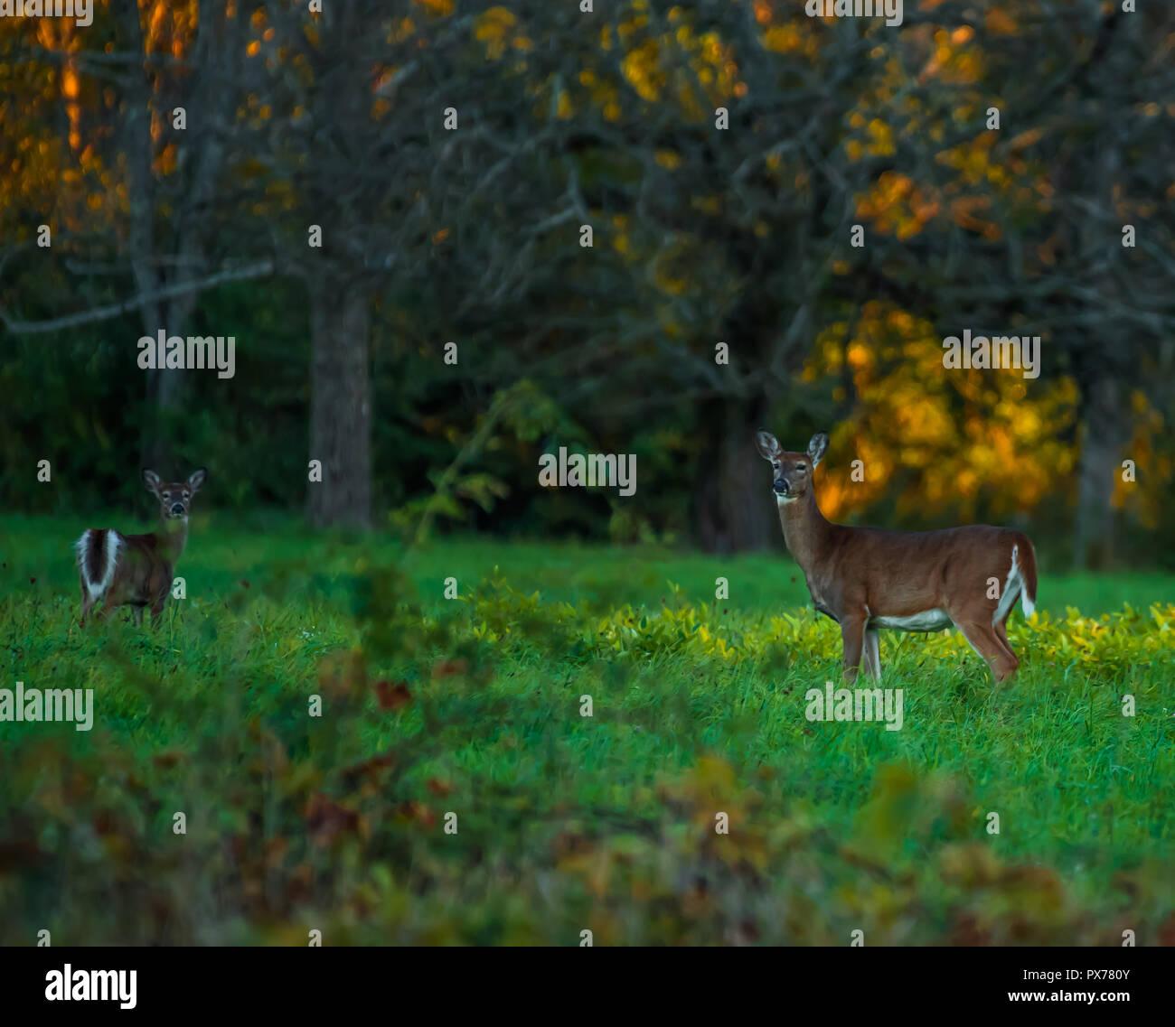 Deer in the Evening Sun - Stock Image