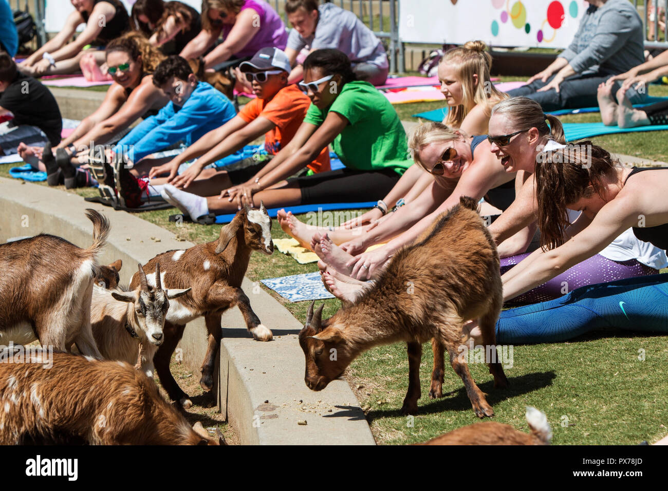 Suwanee, GA, USA - April 29, 2018:  Goats walk among people stretching in a free goat yoga event at Suwanee Towne Park on April 29, 2018. Stock Photo