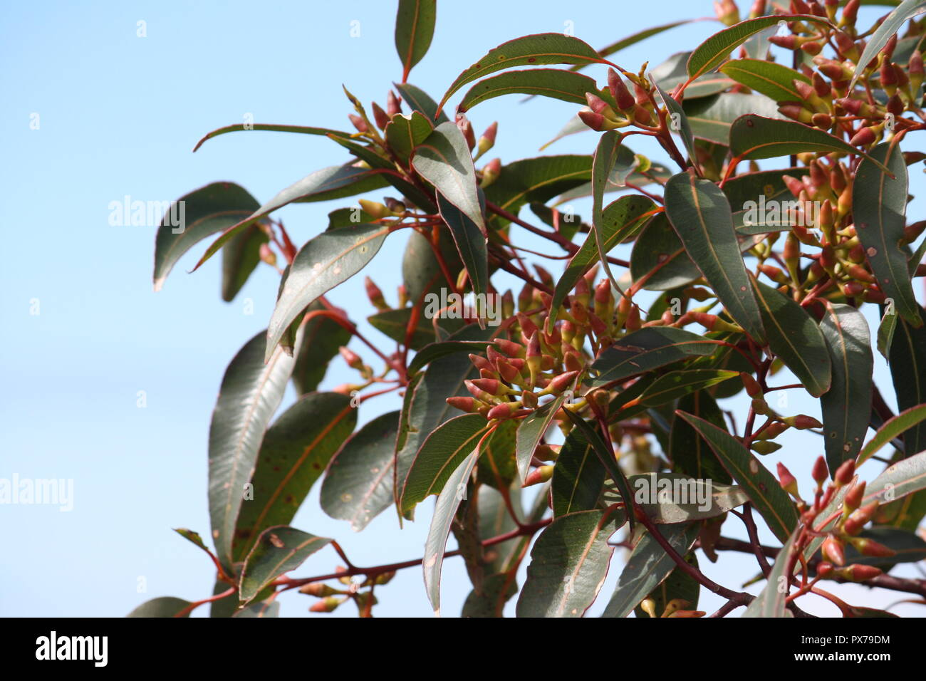 The eucalyptus tree or gum tree, is one of the most dominate and beautiful floras of Australia - Stock Image