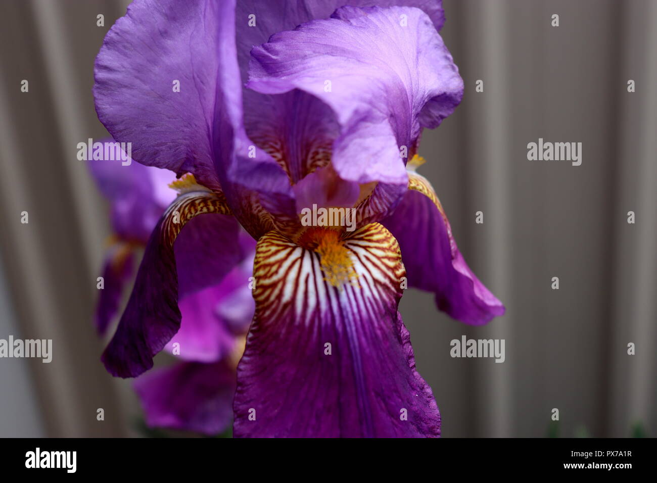 Close Up Royal Purple Iris Photo: taken in a backyard garden, this picture would look great on calendars, cards, or anything else. Stock Photo