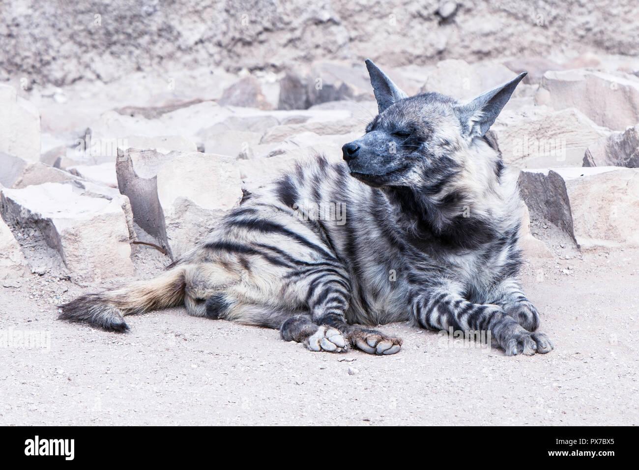 Brown Hyena, striped Hyena Stock Photo