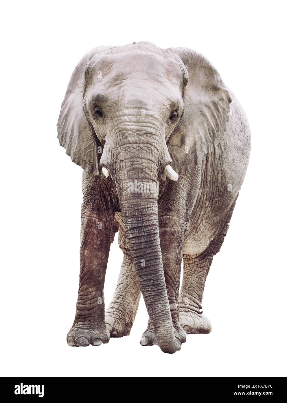 an elephant isolated on white background Stock Photo