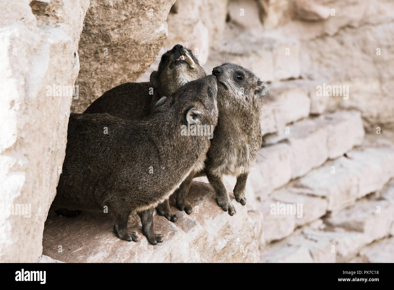 A Rock Hyrax, otherwise known as a Cape Hyrax and a Dassie, in South Africa Stock Photo