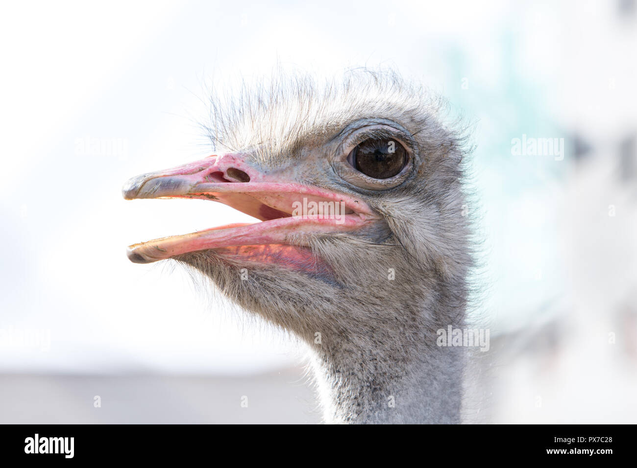 close up to face of an ostrich bird with mouth open,a flightless swift-running African bird with a long neck, long legs, and two toes on each foot. It Stock Photo