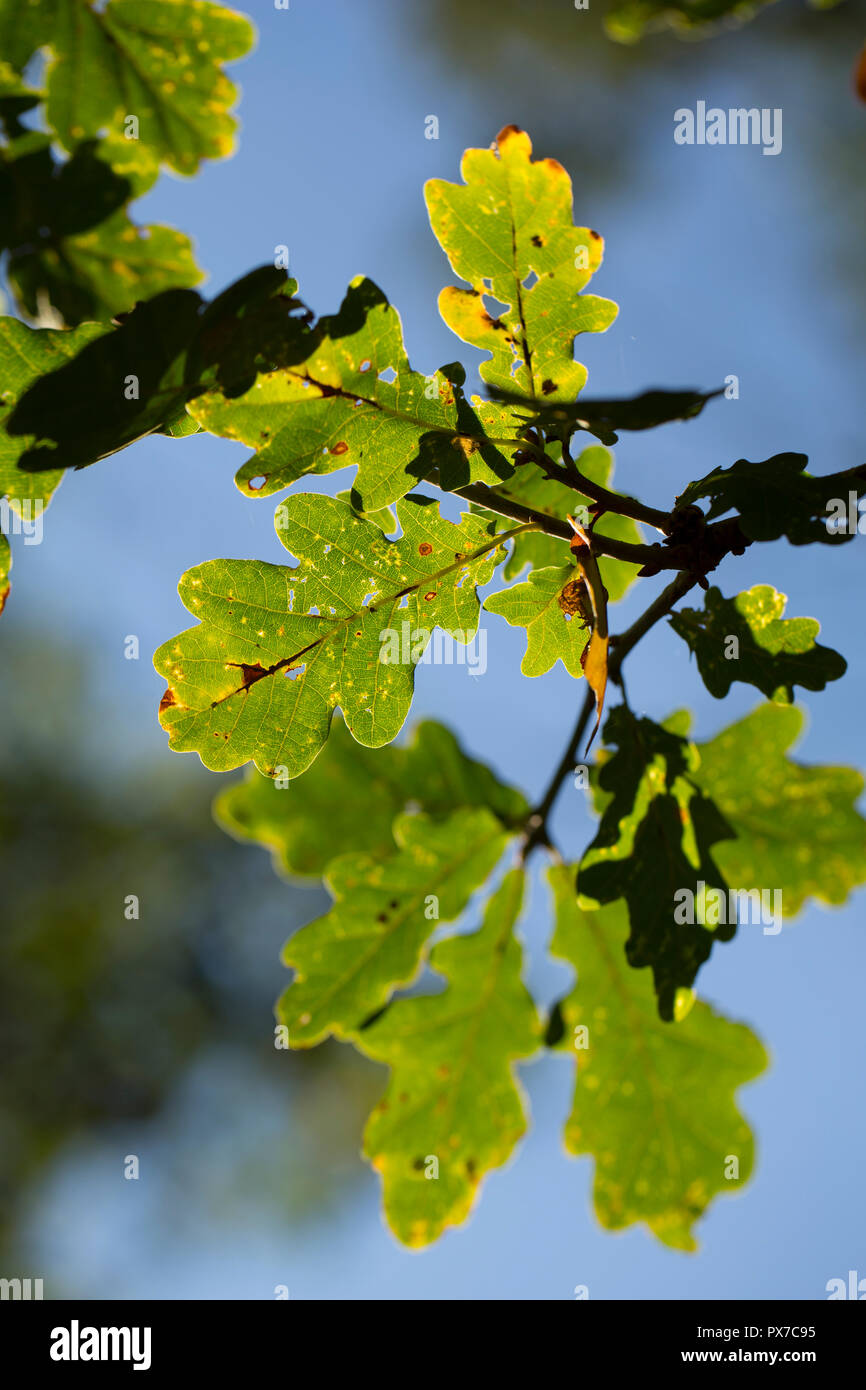 Oak leaves, Quercus robur,  in October in afternoon light in the New Forest Hampshire England UK GB Stock Photo