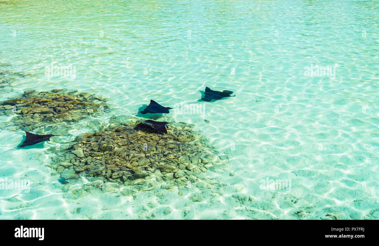 Stingray near the shore, Maldives. Copy space for text - Stock Image