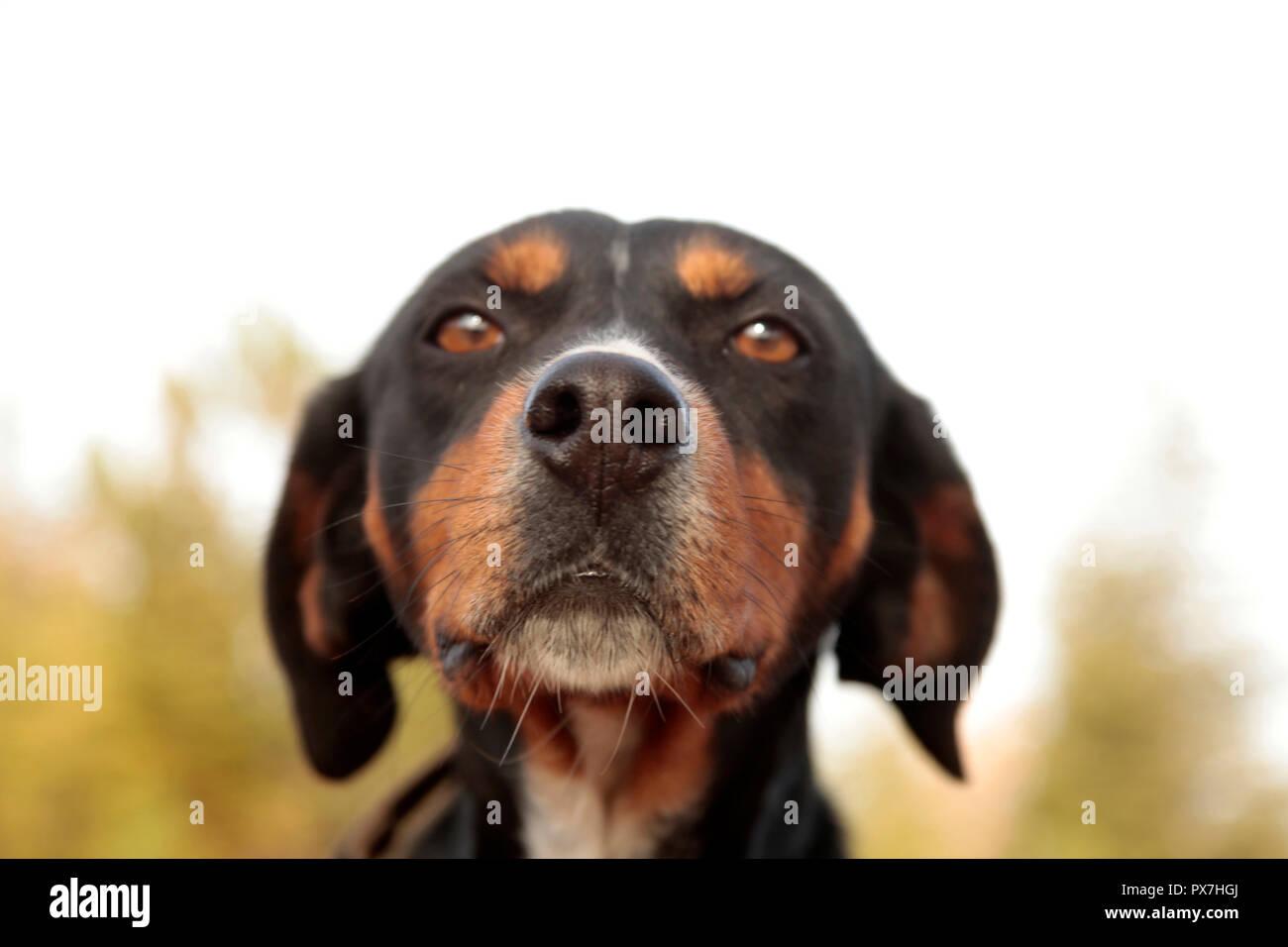 Portrait of a greyhound dog - Stock Image