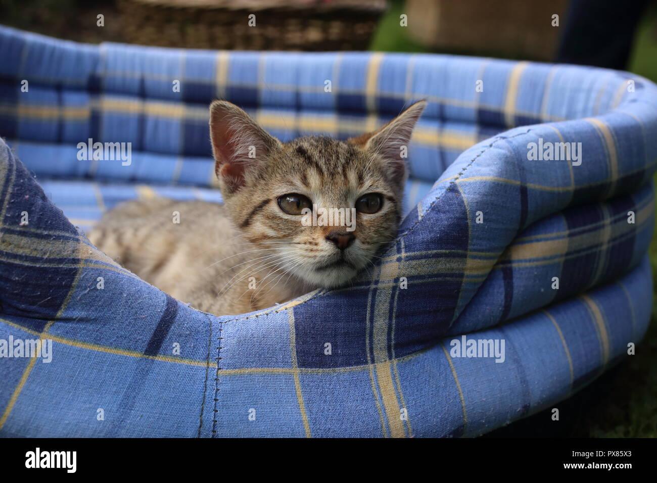 Sleepy kitten on soft blue pet bed in the garden - Stock Image