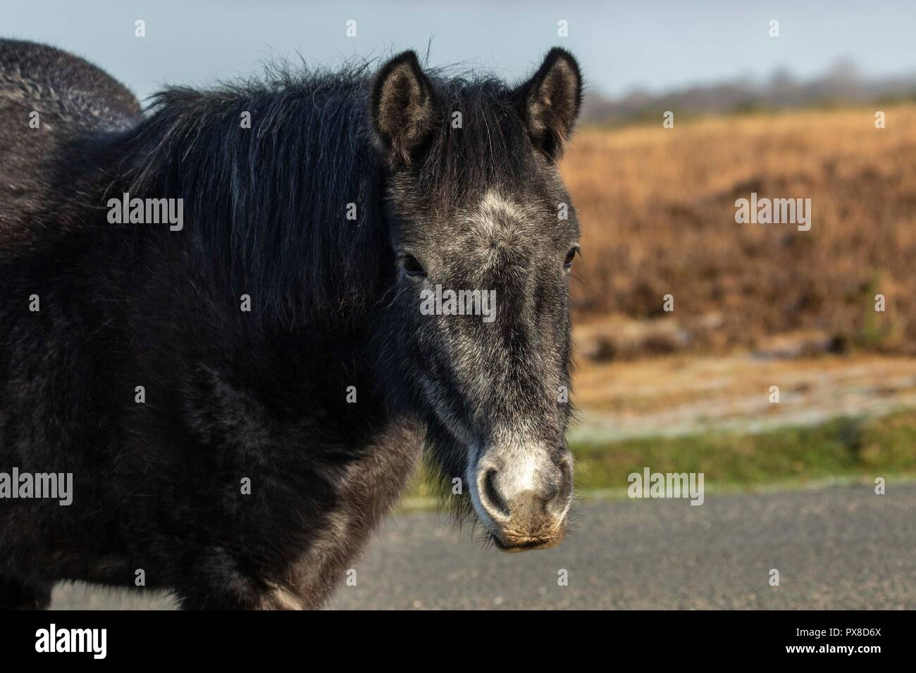 new forest ponies - Stock Image