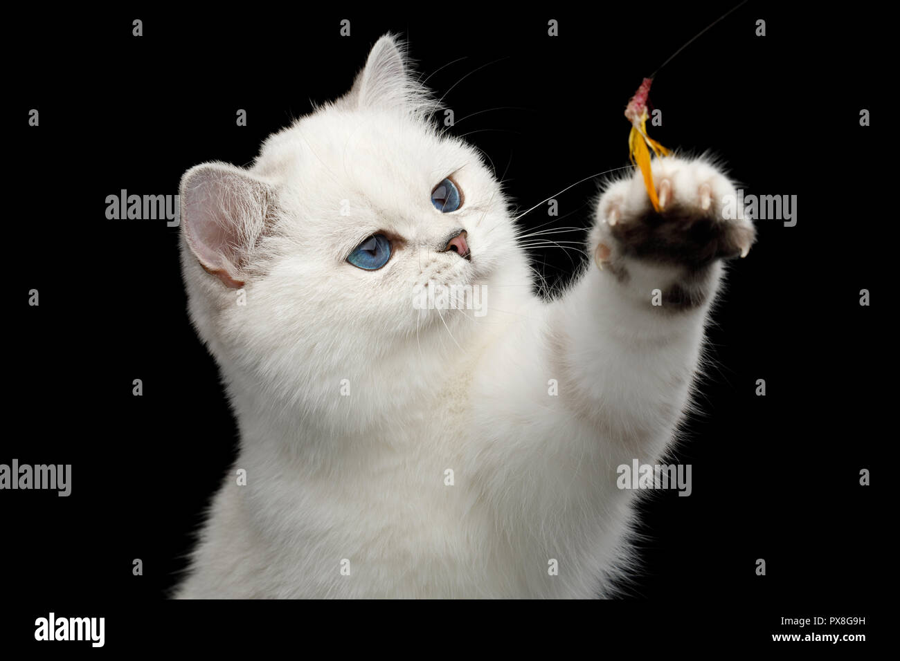 Portrait of Playful British White Cat, blue eyes, catching paw with toy on Isolated Black Background, front view - Stock Image