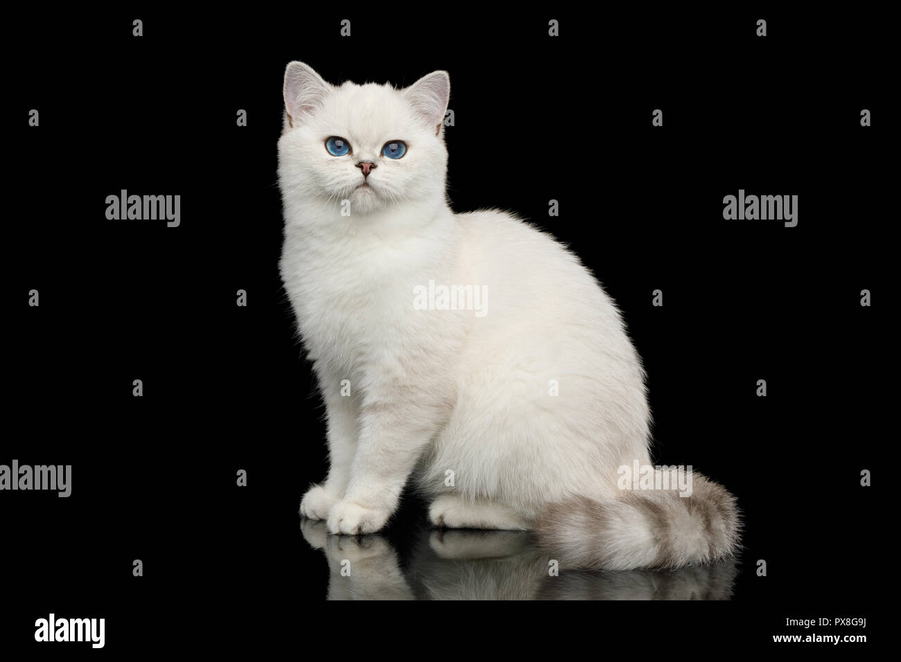 Playful British White Cat, with blue eyes, Sitting on Isolated Black Background, side view Stock Photo